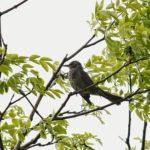 飛ぶ練習をするヒヨドリの雛!